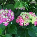 大手筋商店街近く 「梅の花」は紫陽花の隠れた名所!【お店】【まち】