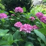 【初夏の風物詩】3500株のあじさいは見物!「藤森神社 あじさい祭」