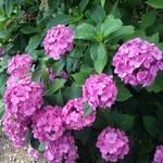 宇治 三室戸寺の庭園「紫陽花」だけでなく「蓮」も綺麗!