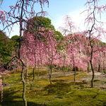 京都の梅の見ごろ間近!梅の名所 伏見区「城南宮」【観光】