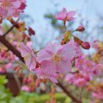 【早咲きの桜満開】 嵐山からすぐ、車折神社で一足早いお花見気分