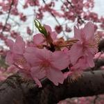 【まさに見頃】 早咲き「河津桜」満開!意外と穴場の「伏見・淀水路」