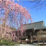 【世界遺産】見事な枝垂桜!圧巻の桜のシャワーを観に行こう【春の天龍寺】