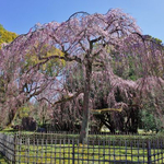 京都の早咲き桜を求めて。「京都御所」午前中が狙い目!