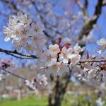 【桜の名所】京都早咲き桜を求めて。格式ある名社「平野神社」