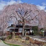 早咲きの枝垂桜はイマが見頃!出町柳の穴場「本満寺(ほんまんじ)」【吉宗ゆかりの地】