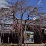 見頃が待ち遠しい、知る人ぞ知る枝垂桜の穴場。「妙覚寺」「水火天満宮」【鞍馬口】
