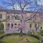 【観桜祭開催中】洋の旧会館と和のサクラの共演。「重要文化財 京都府庁旧本館」