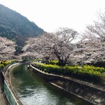【絶賛開花中】桜と菜の花の共演!豊かな水量をたたえる癒しスポット「山科疏水」