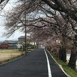 【穴場】準備は整ました♪桜並木が美しい久御山の「東一口(ひがしいもあらい)」