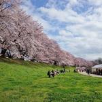 約1.4kmに渡る桜のトンネル!京都が誇る桜の名所「背割堤(せわりてい)」@八幡