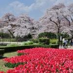 【春の象徴】ソメイヨシノとチューリップの共演!「京都府立植物園」@北山