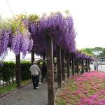 初夏の足音!薄紫色の全長120m圧巻の回廊は必見☆鳥羽水環境保全センター一般公開「鳥羽の藤」【京都上鳥羽】