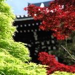 初夏の紅葉!真っ赤なモミジが山門を飾る【金戒光明寺】