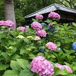 約3500株もの紫陽花が咲き誇る~!!様々な種類、色が楽しめる紫陽花の名所!「藤森神社(ふじのもりじんじゃ)