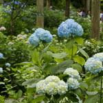 紫陽花も見頃に♪緑のじゅうたんと可愛らしいわらべ地蔵にも癒されます☆「大原の三千院」