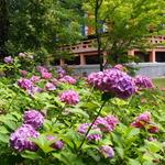 無料で美しい紫陽花と桔梗が楽しめます!!紫陽花の穴場スポット☆「智積院(ちしゃくいん)」