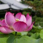まさに極楽浄土のような美しい風景!!京都の蓮寺「法金剛院」の蓮が見ごろとなっています☆