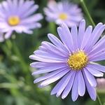 左京区久多*まるで紫のじゅうたん!里山の夏を彩る「北山友禅菊」【季節の花】