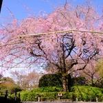 ミシュラン星付きのお料理とともにダイナミックな紅枝垂れ桜のお花見会へ!【退蔵院 春のお食事付き特別拝観プランが今年も開催】
