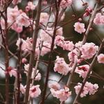 【穴場】もうすぐ梅の季節ですね!随心院~小町の美貌~@京都小野 Zuishinin temple