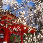 【京都 梅の名所】北野天満宮の梅が見頃を迎えています☆