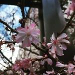 【京都の花】日本最初の小学校跡の一角の早咲き桜ももう終盤!オフィス街の癒やしスポット「御池桜」