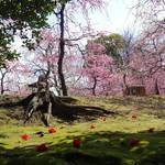 150本ものしだれ梅が満開!!圧巻の美しさです☆梅の名所 「城南宮」