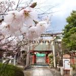 早咲き桜は満開!遅咲きも楽しめる桜スポット「車折神社」見頃を迎えています【花見】
