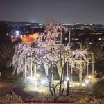 宇治植物公園の『しだれ桜夜間無料公開』が満開を迎える前に終了【ライトアップ】