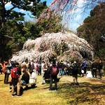 京都最新桜情報!4月3日現在の開花をチャリでぐるっと市内桜パトロール!!