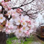 見事な「桜のトンネル」嵐電宇多野駅〜鳴滝駅・ライトアップと「夜桜電車」運行中【4/9まで】