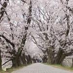 京都屈指の桜スポット!1.4kmの桜のトンネルは圧巻の美しさ!「背割提(せわりてい)」