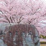 亀岡・あぁ美しや桜吹雪「七谷川 和らぎの道」散り始めるもまだ楽しめます【京都の桜】