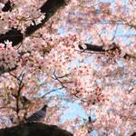 今年もありがとう〜デブ子的京都の桜2017・インスタpic集めただけですすいません【季節の花】