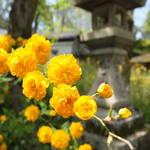 初夏を彩る鮮やかな黄金色・松尾大社「山吹まつり」5/5まで開催中【季節の花】