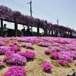 芝桜と藤の見事な競演!「鳥羽水環境保全センター 一般公開」30日まで!