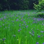 【京都の花】今が見頃!鹿被害から復活した天然記念物カキツバタ☆「大田神社」【上賀茂】
