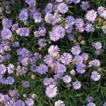 山里に広がる紫のじゅうたん「北山友禅菊」そろそろ見頃を迎えます【季節の花】