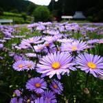 「京都」をイメージする優美な紫☆京都市最北端の山里にとても美しいお花畑があります☆【久多の里】北山友禅菊