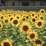 行ってきました「向日市ひまわり畑」今まさに見頃を迎えています【季節の花】