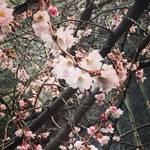 【京都の花】日本最初の小学校跡の一角の寒桜!オフィス街の癒やしスポット「御池桜」