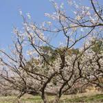 【京都最大】1万本の梅が咲き誇る梅の名所! 城陽「青谷梅林 梅まつり」