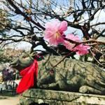 【京都の花】梅の名所・北野天満宮もそろそろ見頃終盤!北野おどりも間もなく開演☆