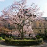 桜の京都!しだれ桜と洋館の共演!重要文化財の「京都府庁旧本館」