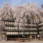 「忠臣蔵」ゆかりの地・山科にある桜の名所「大石神社」アイドルはポニー!?