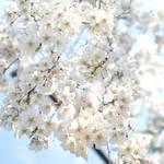 15種・40本の桜が楽しめる車折神社「渓仙(けいせん)桜」が見頃を向かえています【京都の桜】