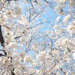 100本以上の桜並木が楽しめる「天神川通り」が見頃を向かえています【京都の桜】