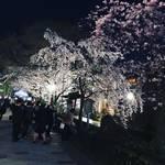 2018京都桜開花情報☆夜はしっぽりと観桜!京都随一のナイトスポットも満開「祇園白川」