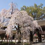 京都有数の桜の名所|源氏・平家の氏神だった「平野神社」【夜桜見物も】